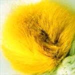 лимонный с подшерстком